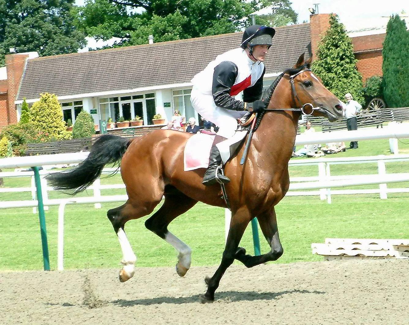 Bay thoroughbred stallion racing